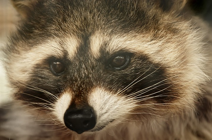 "A spokeswoman for a Delaware recreation center reports that a raccoon ""came out of nowhere"" and lunged at a 60-year-old man's legs. The man's black lab named Fasha jumped into action, pulling the animal off the owner and immobilizing it. (Stock photo)"