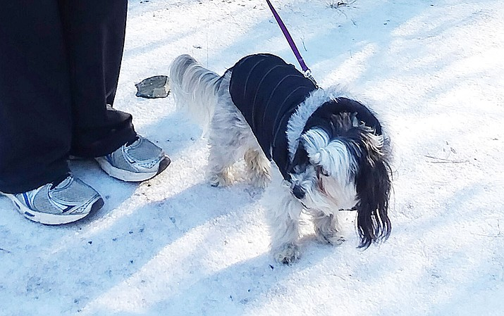 Cookie enjoys the walk but welcomes her coat. Marjy Rau's extra warm coat is most welcome. (Courtesy)