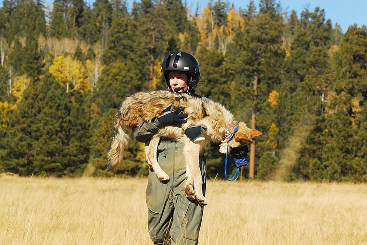 The annual Mexican wolf population survey is underway in eastern Arizona and western New Mexico. (Photo/AZGFD)