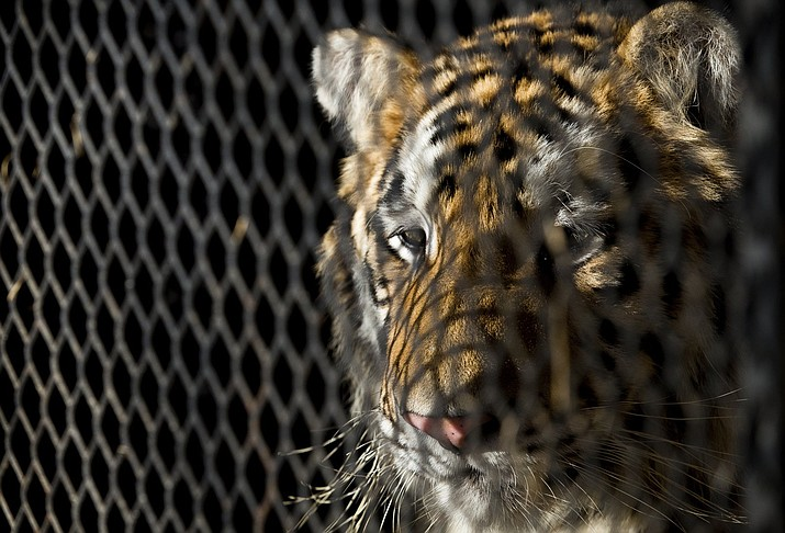 "In this Tuesday, Feb. 12, 2019 photo, a tiger that was found in a Southeast Houston residence awaits transport to a rescue facility at the BARC Animal Shelter and Adoptions building in Houston. A woman who called Houston's non-emergency dispatch line after discovering a tiger inside a cage at an abandoned home told the shocked dispatcher: ""I'm not lying."" Police say a group of people looking for a place to smoke marijuana happened across the tiger on Monday, Feb. 11. (Godofredo A. Vasquez/Houston Chronicle via AP)"