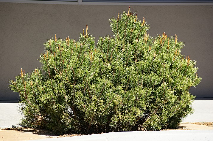 Mugho pines are perfect for confined spaces with their dense, symmetrical growth and compact, rounded form. (Courtesy)