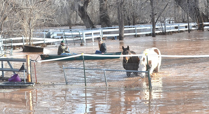 Area residents in a canoe successfully rescued these two horses from floodwaters along the Verde River just off Bates Road Friday morning. VVN/Vyto Starinskas