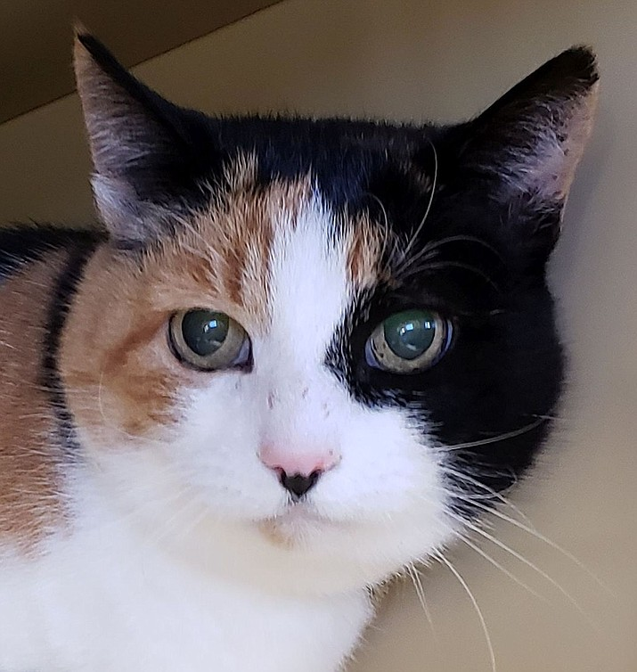 Calico is available for adoption through United Animal Friends. (Courtesy)