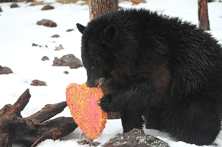 Animals at Bearizona Wildlife Park celebrated Valentine's Day with some tasty enrichment snacks Feb. 14. (Photo/Bearizona)