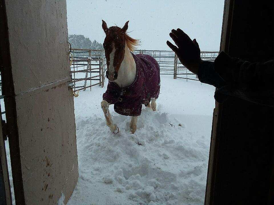 Hope, an Arabian/Pinto mare, trying to come into her snowy barn stall. Located in Williamson Valley. (Cozette Smith)