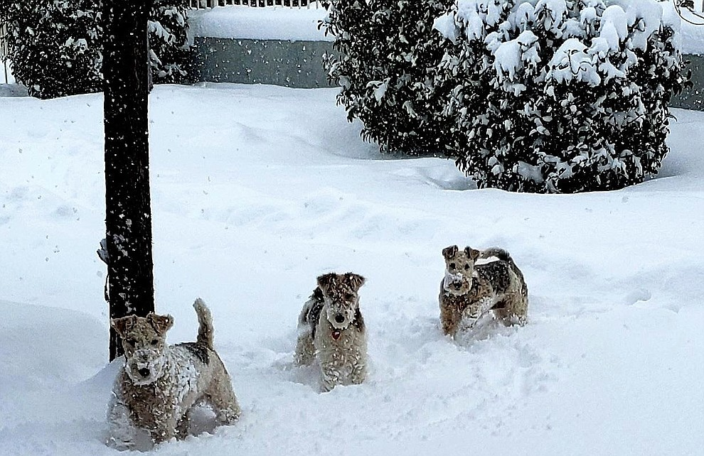 Our 3 Wirehair fox Terriers playing in the snow