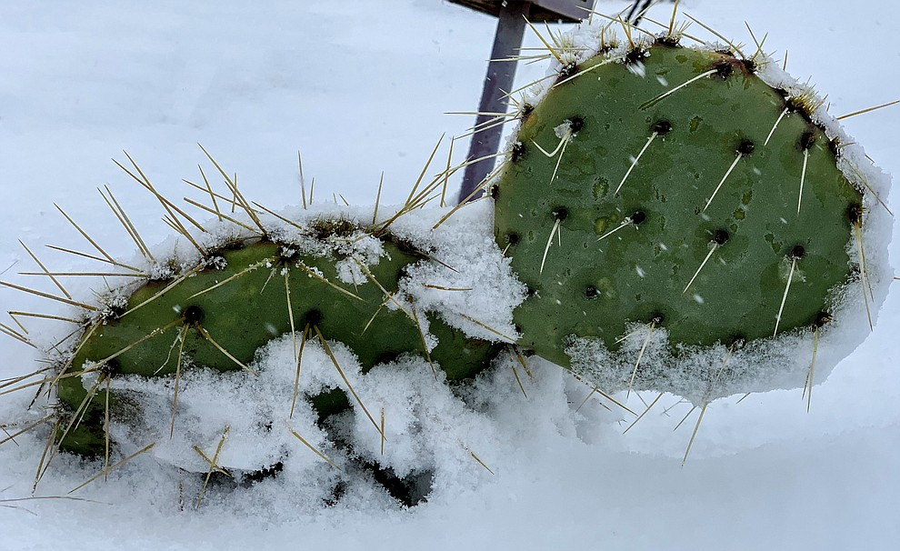 Somebody said I would like to see a cactus in the snow. So I went outside and found one that my husband replanted. Dewey,AZ (Nora Muse)