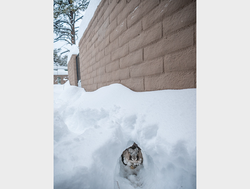 My bunny in his snow tunnel during the snow storm 02-21-2019 (Geoffrey Meza)