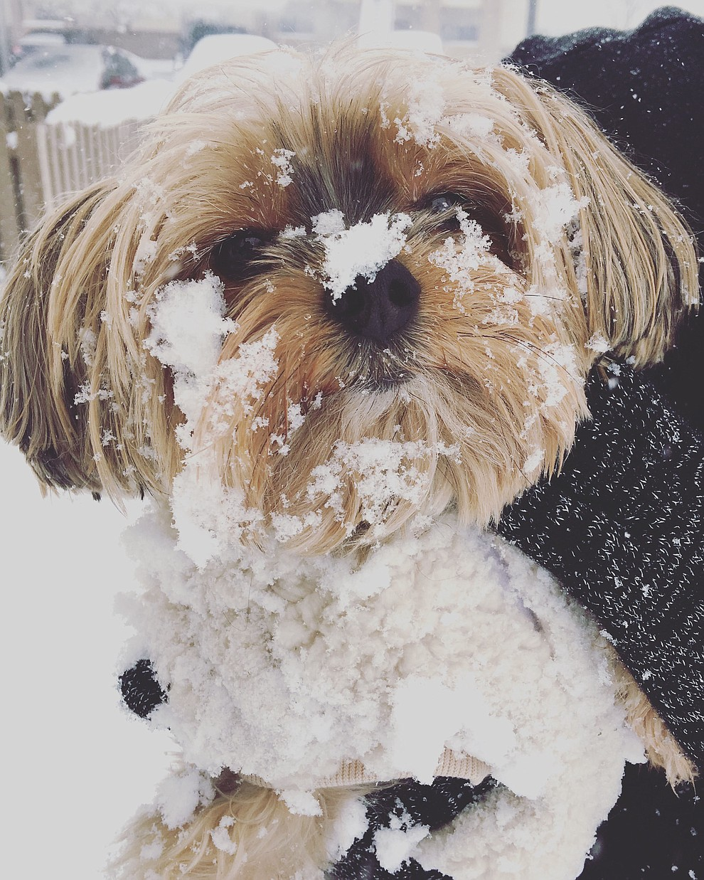 Our little Yorkie sunk right into the snow and didn't quite know what to do. (Carraine Oldham)