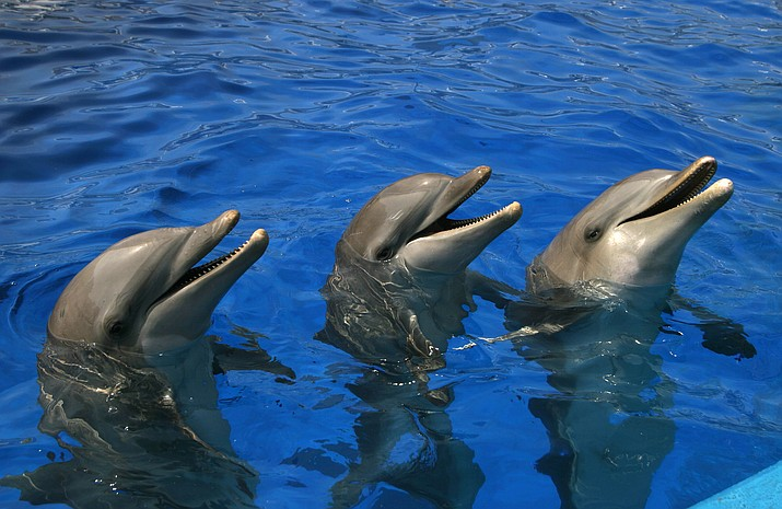 Similar to the dolphins above, four remaining dolphins at an Arizona facility where four other dolphins have died have moved into a new home in the Caribbean.(Photo by Javier Yaya Tur (CAC, S. A.) [CC BY 2.0 (https://creativecommons.org/licenses/by/2.0)