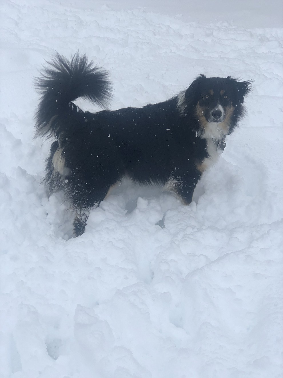Buddy the border collie Aussie mix in Chino Valley snow. (Kristen Purol)