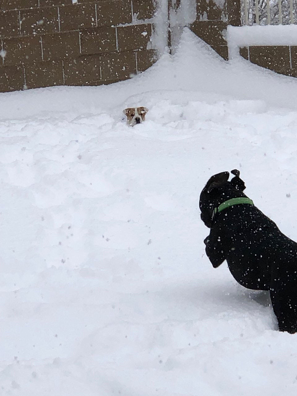Sophie loving her first time in the snow, waiting for her brother Kevin to pounce! (Alexandra Suzanne)