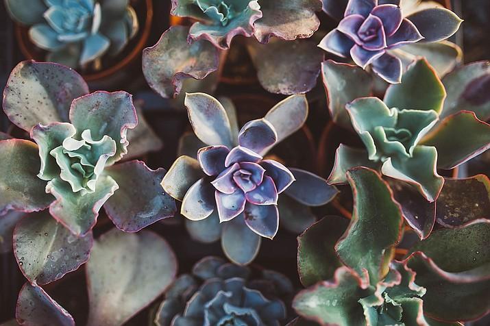 Succulent (Pixabay/Courtesy)