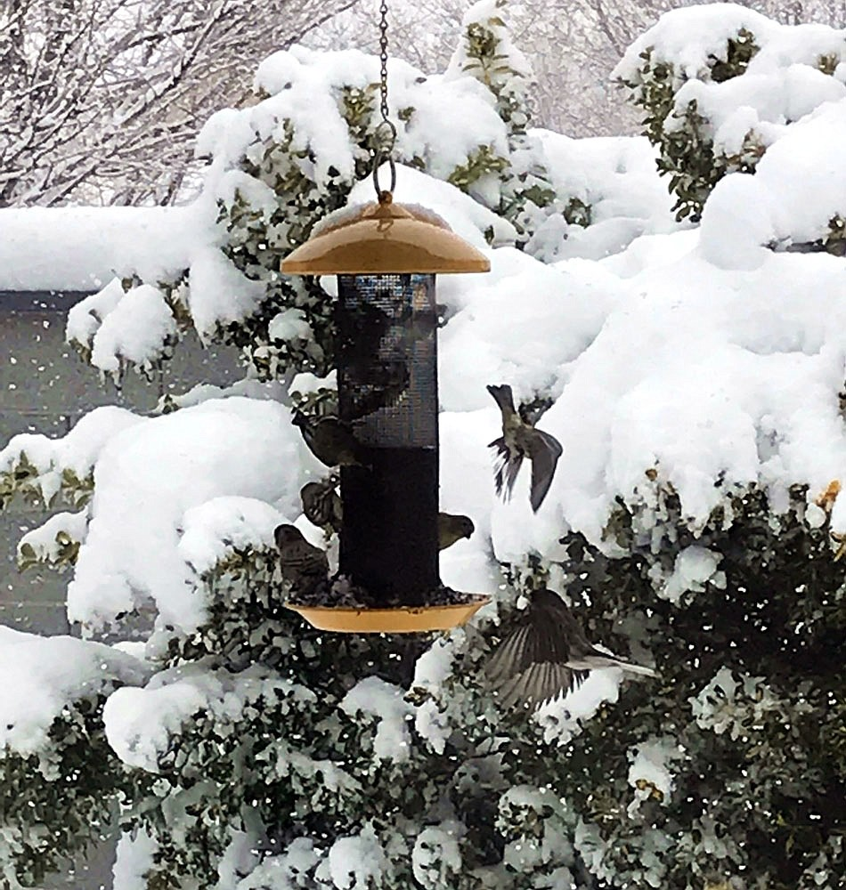 I took this just before noon today. The more the snow fell, the more the bird activity! Note the two finches in-flight to the right of the feeder. (Trisha Brasher in Prescott Valley)