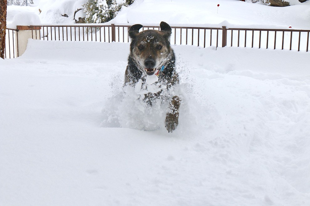 Rufus enjoying playing in the snow Friday morning in the front yard (Thumb Butte area).