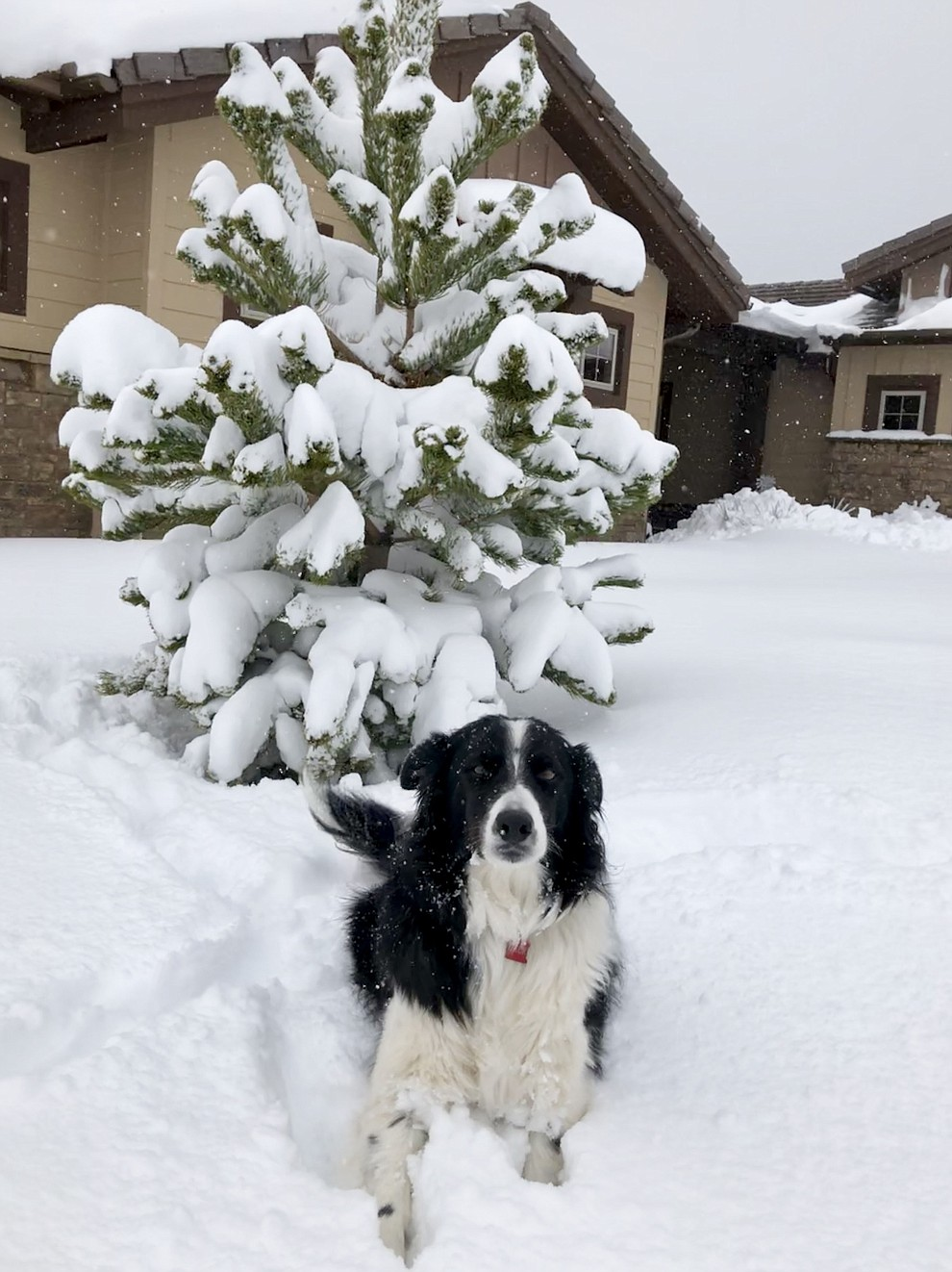 My Border Collie, Jack, hamming it up for the camera while enjoying the snow