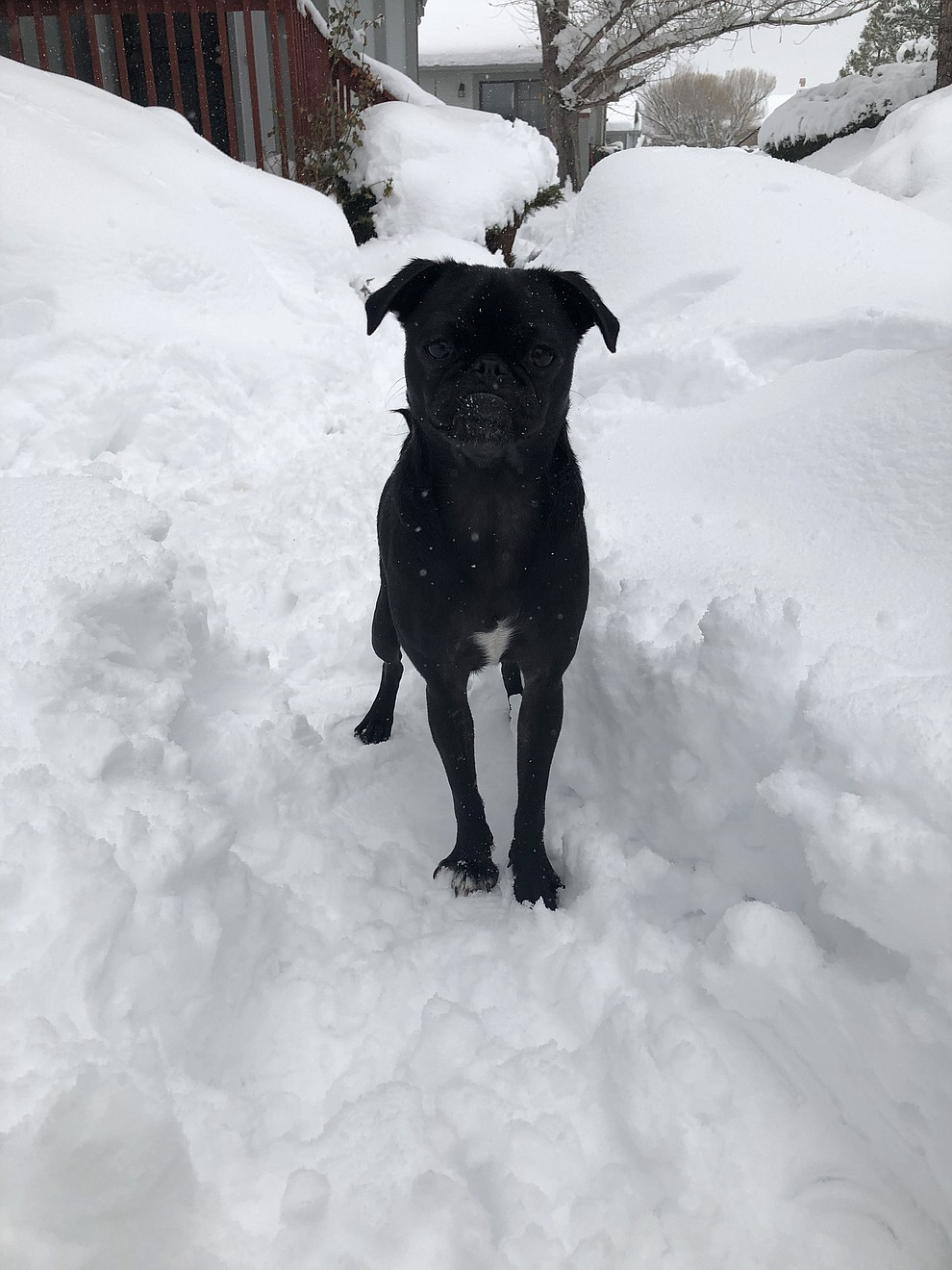 Kiki the smiling black pug experiencing her first time in the snow
