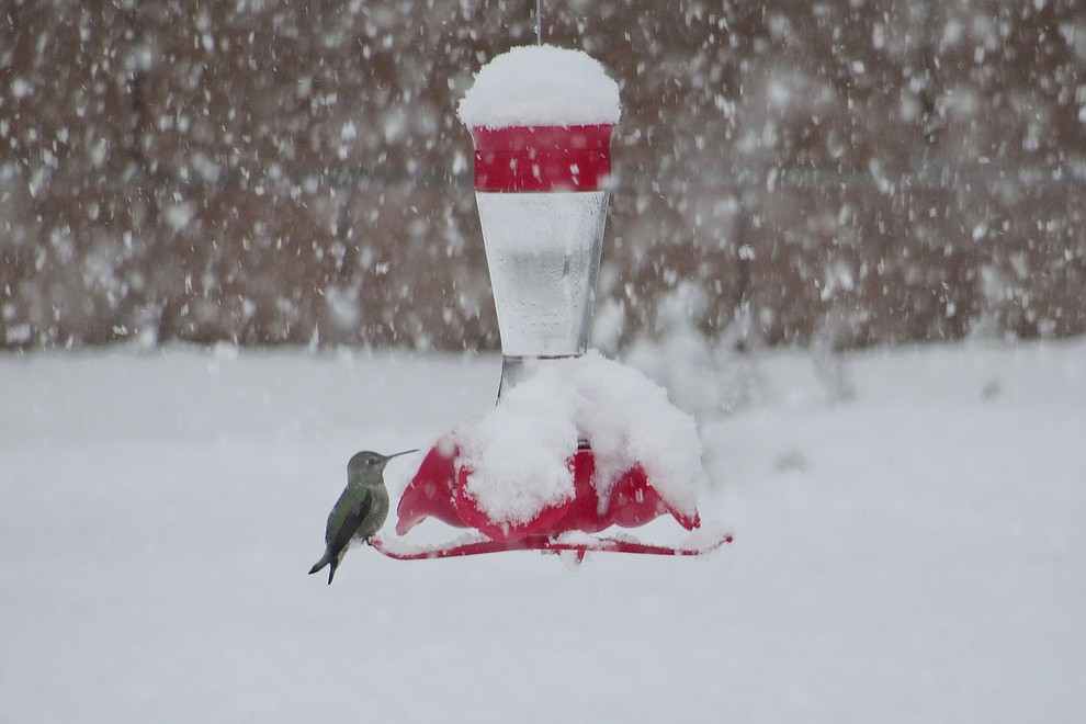We learned Anna's hummingbirds stay all winter so we have a feeder out for them. This little hummer seemed to be enjoying the snow as it flew back and forth from the feeder to its snow covered evergreen shelter...