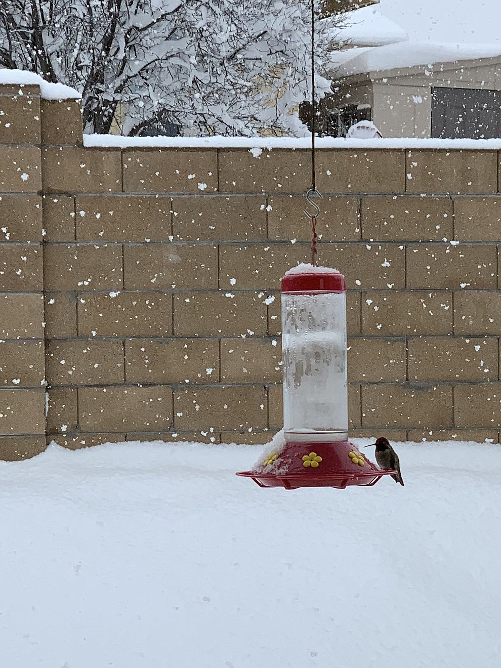 Dana & Wendy Tabbart's back yard, of hummingbird at feeder in the snow yesterday...is just precious. He has been doing this all winter...a hardy little guy for sure!