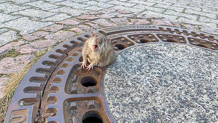 According to a Facebook post by a nonprofit animal group in Bentheim, Germany, volunteer firefighters came to rescue this rat after a group of girls reported finding it stuck in a manhole cover on Saturday. (Berufstierrettung-Rhein-Neckar/AP)