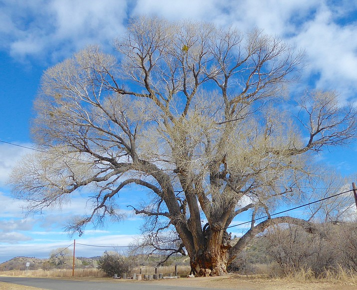The largest Fremont Cottonwood in America. (Nigel Reynolds/Courtesy)