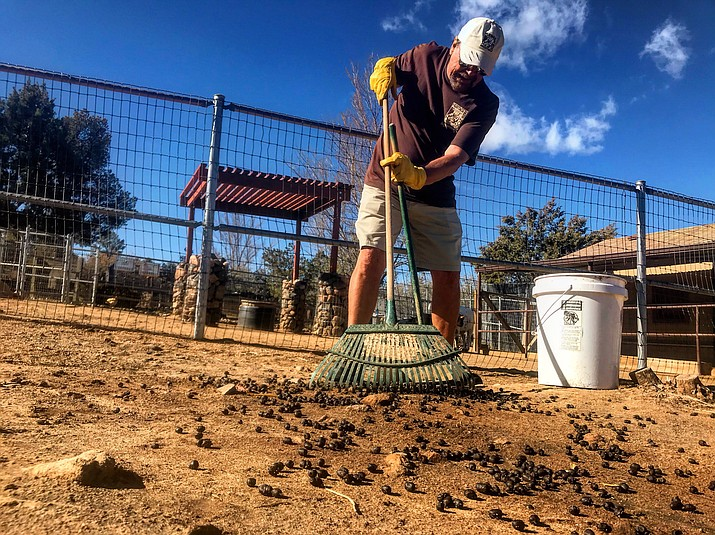 "Lew Rees, as a part the fundraising event ""Lew Loves The Zoo,"" helps clean up the Lama enclosures by cleaning up their droppings. (George Johnston/Courier)"