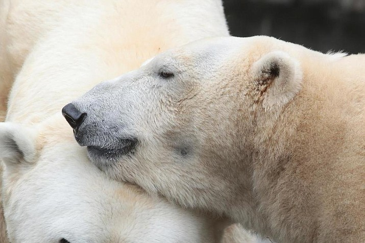 "This Feb 18, 2019 photo from the Cincinnati Zoo shows two polar bears, from left ""Little One"" and Anana"" in Cincinnati. The Ohio zoo has become the repository for the world's largest collection of polar bear poop as researchers work to create a pregnancy test to aid the survival of this threatened species. The Cincinnati Zoo and Botanical Gardens is storing 30,000 samples of fecal matter from the U.S. and Canada being studied by researchers at the zoo's Center for Conservation and Research of Endangered Wildlife. (Mark Dumont/Cincinnati Zoo via AP)"