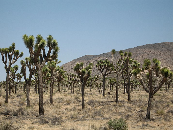 Joshua Tree National Park. (Photo/NPS)