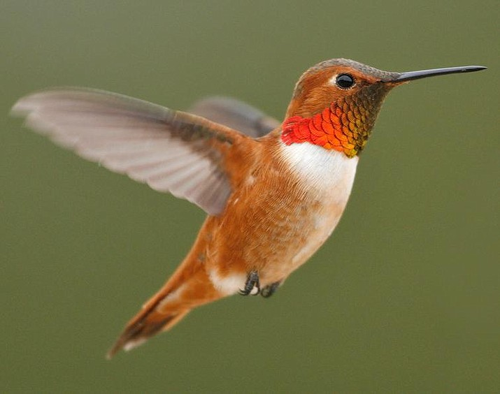 Be on the lookout for rufous hummingbirds as they move through the area on their way north over the next several weeks. (Courtesy)