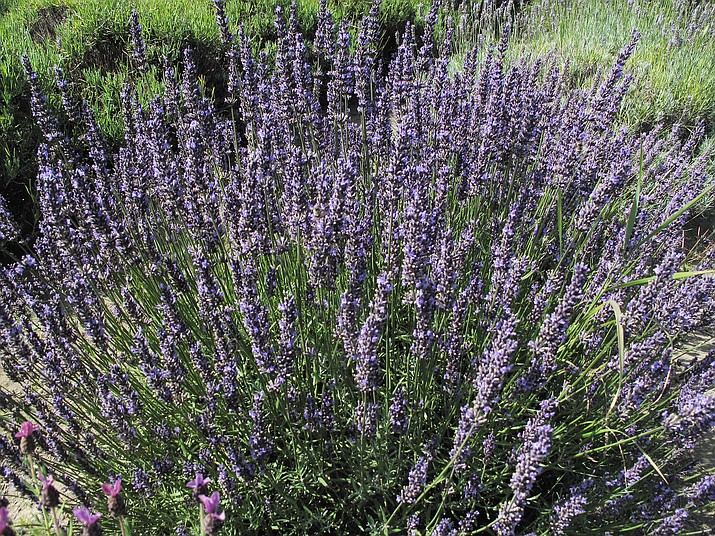 A large clump of lavender in a garden Aug. 28, 2012, near Langley, Wash. (Dean Fosdick via AP)