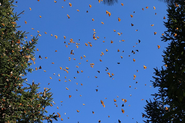 Butterflies at one of their annual wintering spots on Jan. 23, 2019, in Cerro Pelón Monarch Butterfly Sanctuary near Macheros, Mexico. (Denise Siraco via AP)