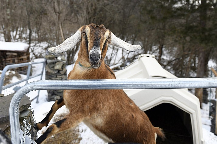 Lincoln, a 3-year-old Nubian goat, is poised to become the first honorary pet mayor of the small Vermont town of Fair Haven. (Robert Layman/The Rutland Herald via AP)