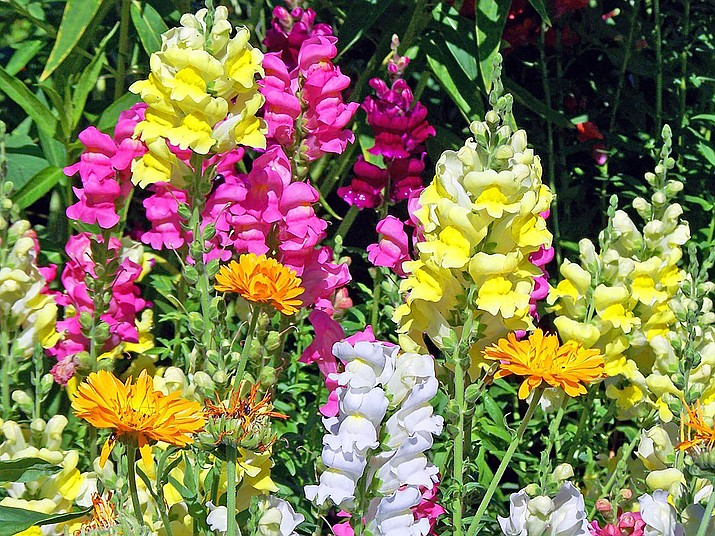 Snapdragons bloom in vibrant, bold tones, soft pastels and some show subtle bi-colors. (Courtesy)