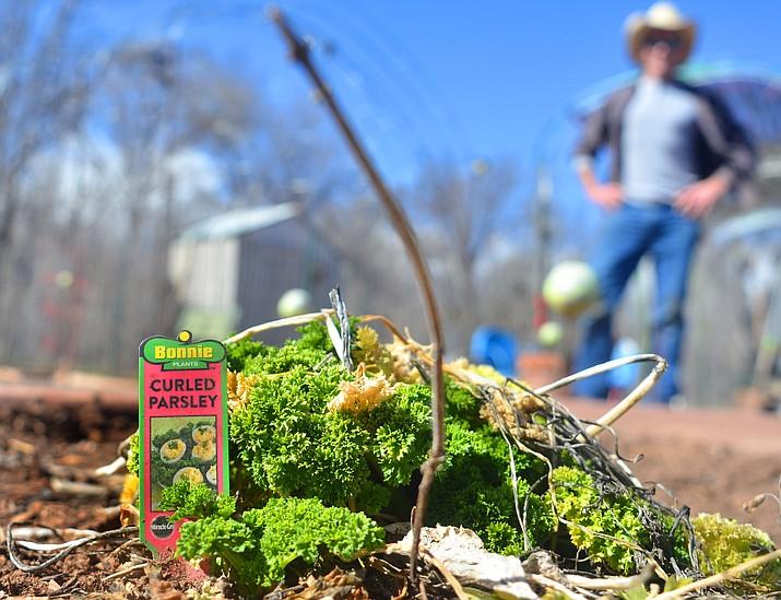 Last year's parsley still grows in the Cottonwood Community Garden on Monday. VVN/Vyto Starinskas