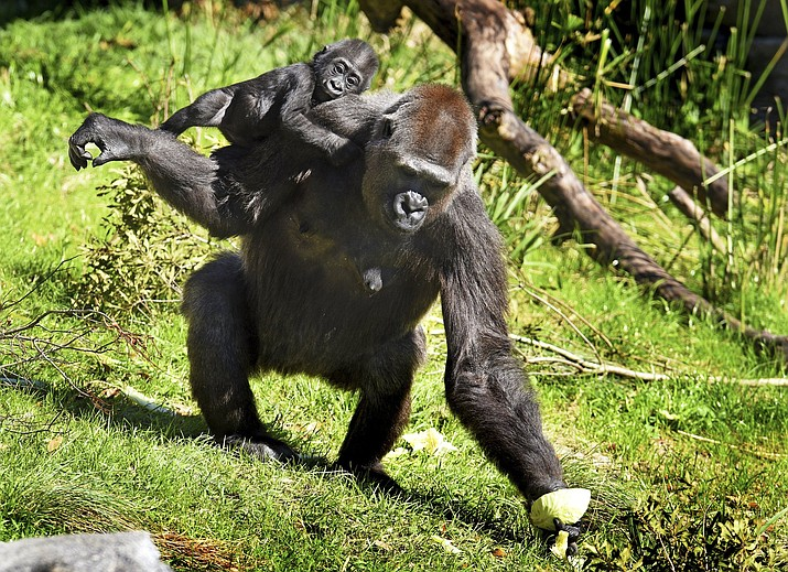 Bulera grabs a half head of cabbage before heading back into the gorilla house with her adopted baby Gandai during the pair's first excursion into the gorilla yard of the Jacksonville Zoo in Jacksonville, Fla. The 30-year-old gorilla has become a surrogate mother to the baby gorilla whose mother hasn't shown sufficient interest in her baby. (Bob Self/The Florida Times-Union via AP)