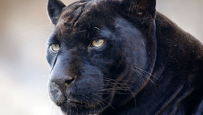 According to witnesses, in an attempt to take a selfie photo a woman got too close to the jaguar enclosure fence at Wildlife World Zoo in Litchfield Park near Phoenix on Saturday, March 9, 2019, when the animal reached out and attacked her. (Jaguar file photo)