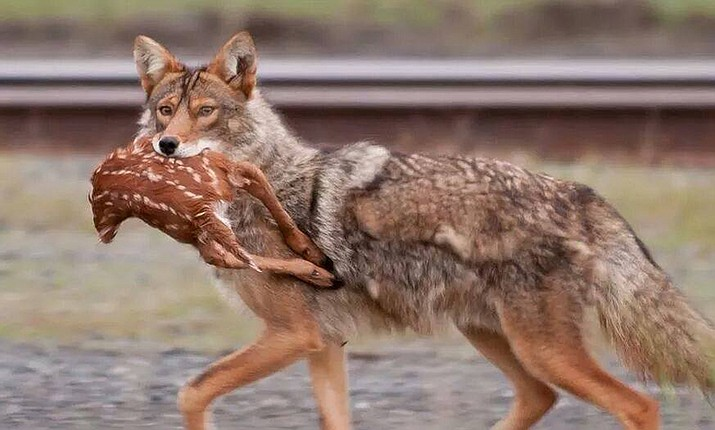 Coyotes have been identified as the number one predator of deer and antelope fawns in Arizona. (Photo special to The Daily Miner)