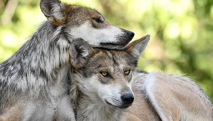 Trump administration proposes lifting protections for gray wolves across 48 states