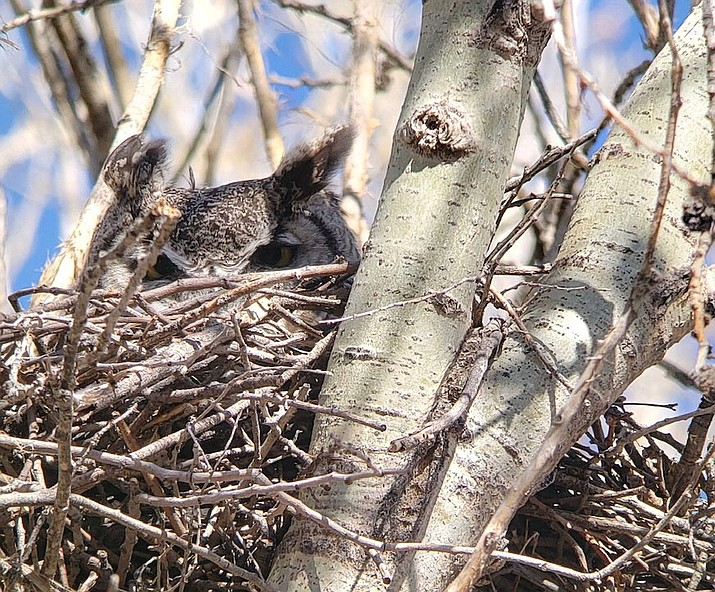 This a great horned owl on its nest in Watson Woods. (Courtesy)