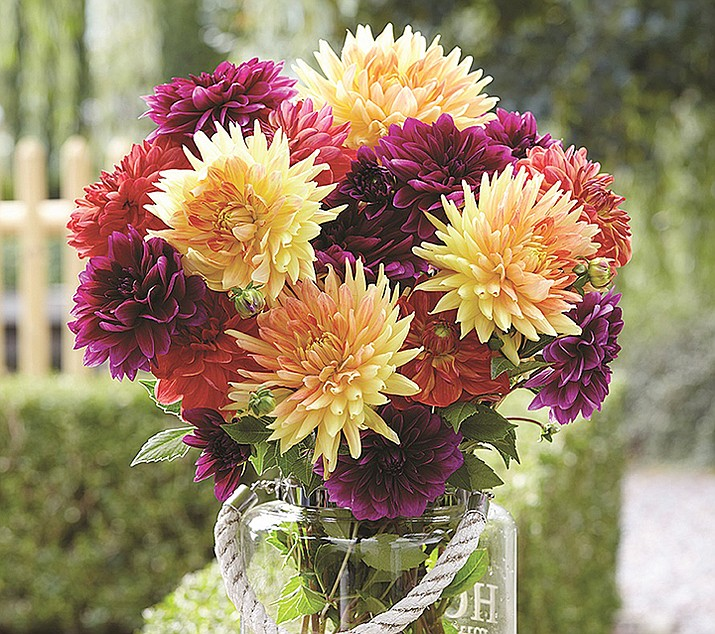 These dahlia blooms make a fragrant bouquet. (Longfield Gardens/Courtesy)