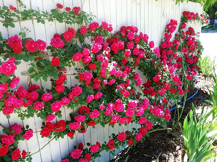 Rose have remained popular for hundreds of years. (Watters Garden Center/Courtesy)