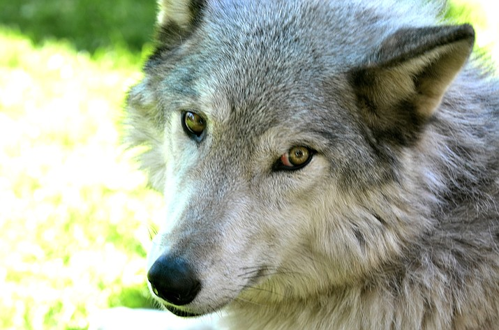 Few animals on Earth evoke such strong emotions as the wolf, or have suffered so much as a result of misunderstanding. Dark myths about them have abounded and continue to this day, ignoring the facts about the crucial role they play in balancing the ecosystem.