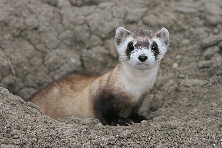 AZGFD is seeking volunteers to help spotlight the endangered black-footed ferrets near Seligman in March and April. (USFWS/photo)