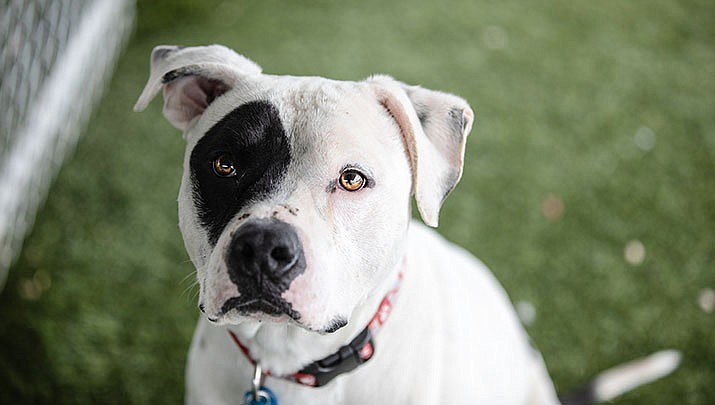 Roscoe is an approximately 2- to 3-year-old pit bull mix, and is at the Chino Valley Animal Shelter. (Courtesy)