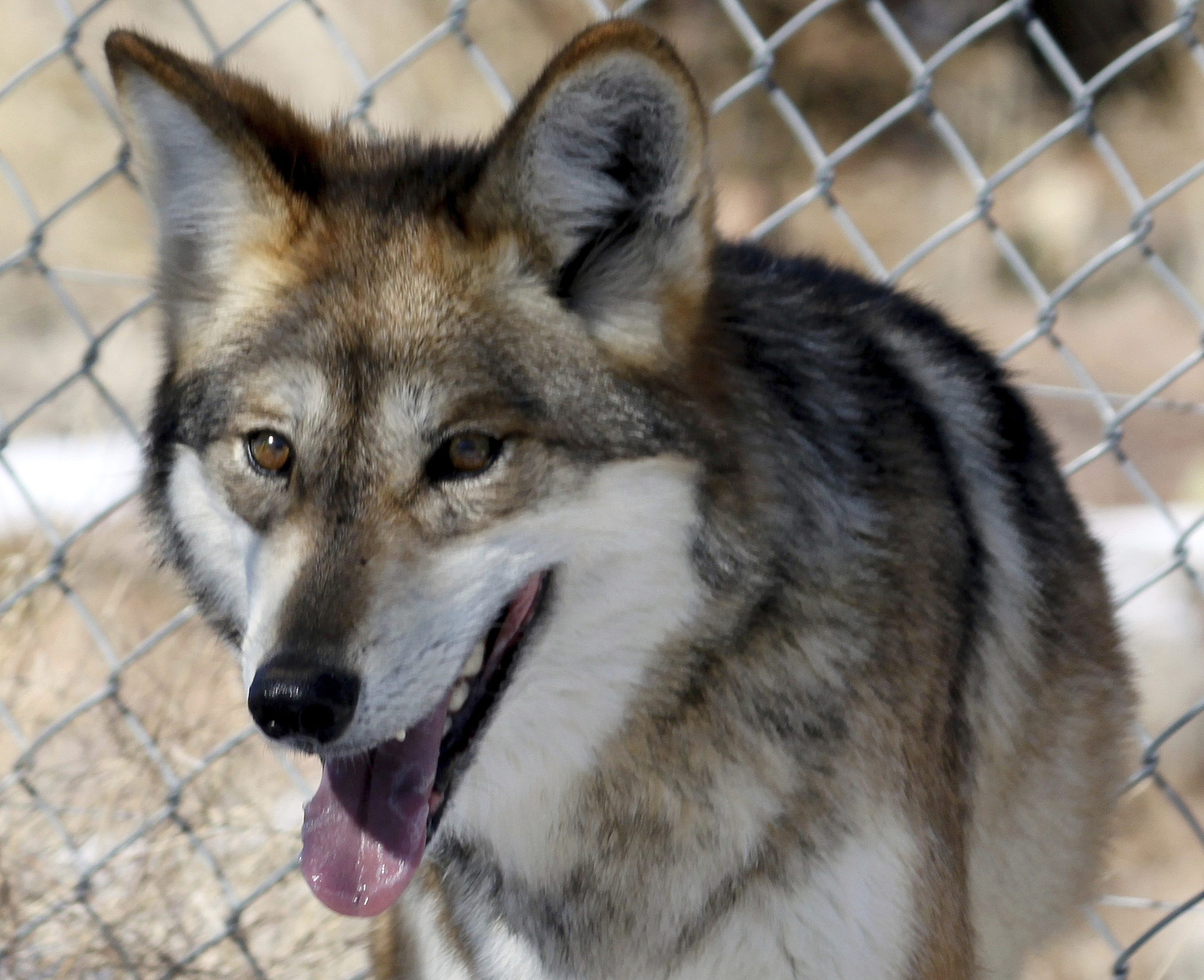 Cattle kills prompt removal of two Mexican gray wolves on Gila National Forest