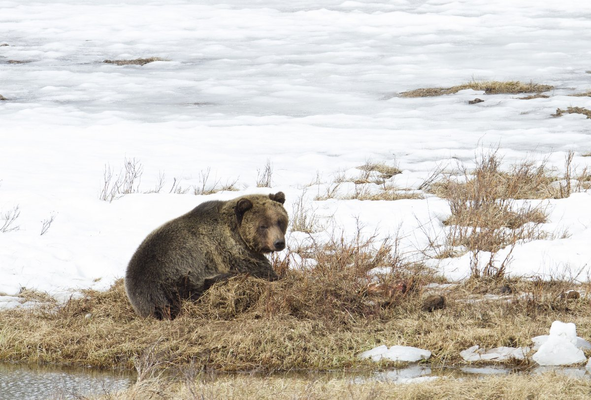Yellowstone's first bear of 2019 spotted