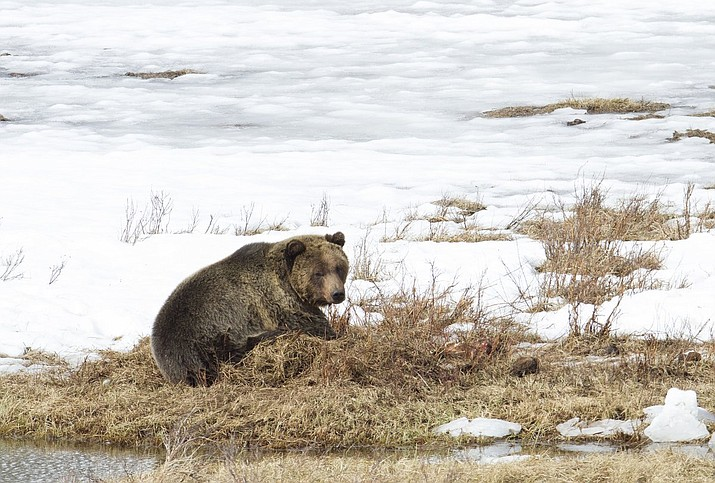Male grizzlies come out of hibernation in mid-to-late March. Females with cubs emerge in April and early May. (Photo/NPS)