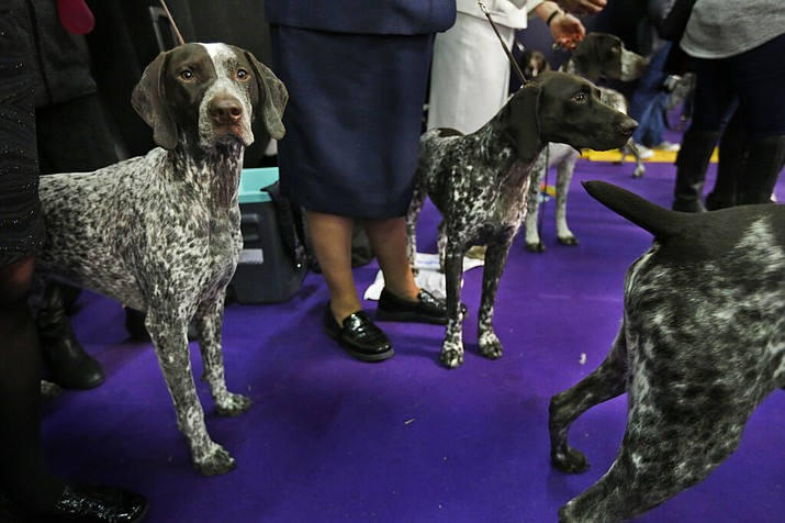 In this Feb. 13, 2018 file photo, German shorthaired pointers wait to enter the ring during the 142nd Westminster Kennel Club Dog Show in New York. At No. 9, the German shorthaired pointer notched its highest ranking in 2018, since getting American Kennel Club recognition in 1930. (AP Photo/Seth Wenig, File)