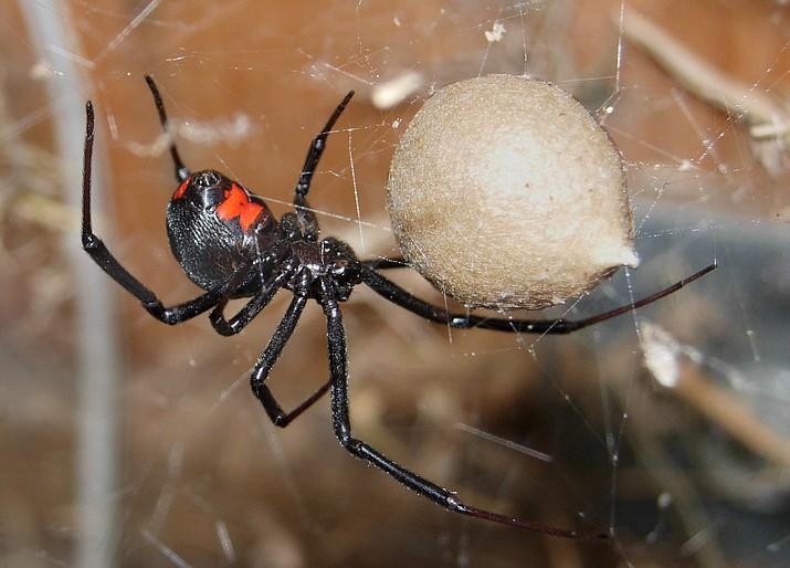 Black Widow Spider (courtesy)
