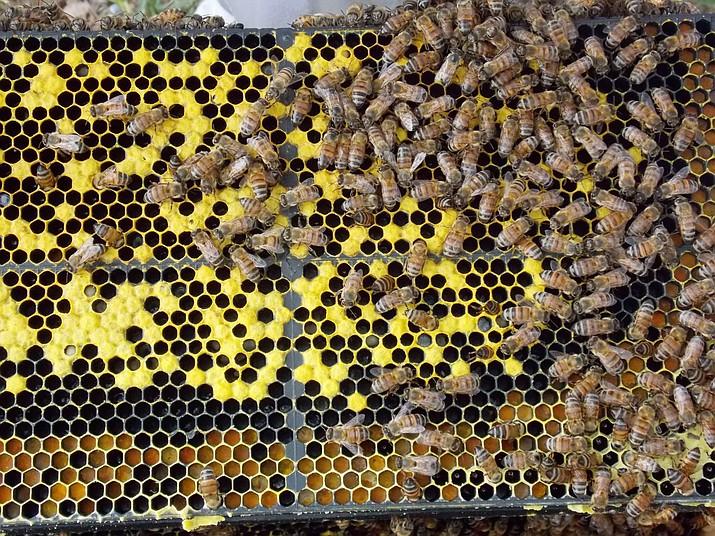 Bees in the Prescott area. (Tim Wiederaenders/Courier)